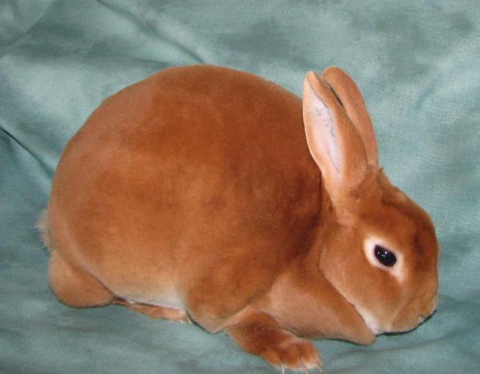 сколько живут карликовые кролики