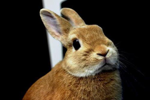 карликовый кролик в домашних условиях