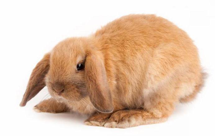 карликовый кролик отзывы