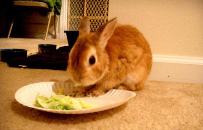 виды карликовых кроликов