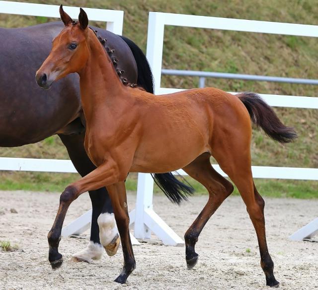 кабардинская порода лошадей ее обзор