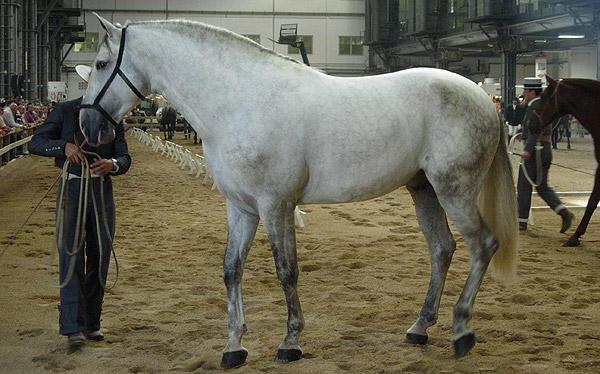 англо кабардинская порода лошадей