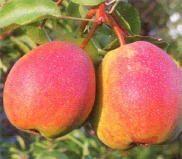 Груша для Ленинградской области: сорта, особенности ухода, выращивание и отзывы