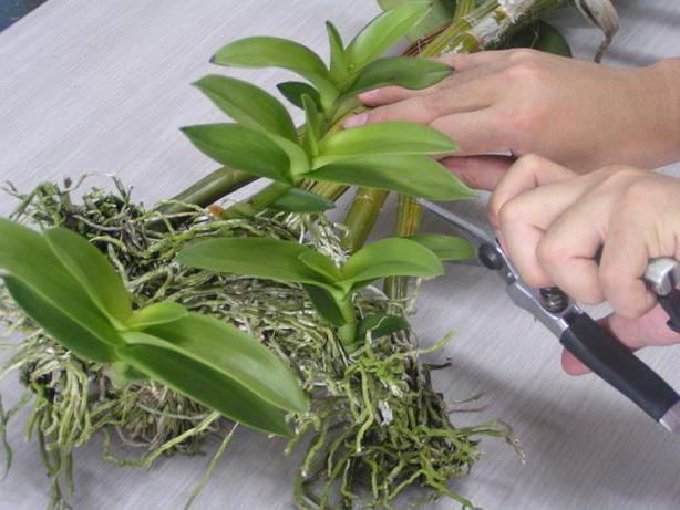 как отсадить деток орхидеи без корней