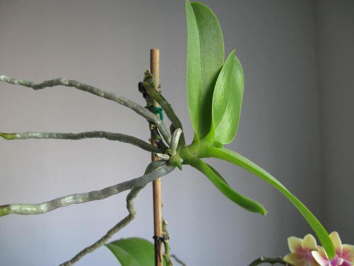 как отсадить деток орхидеи в домашних условиях