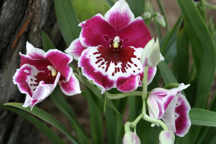 как отсадить деток орхидеи