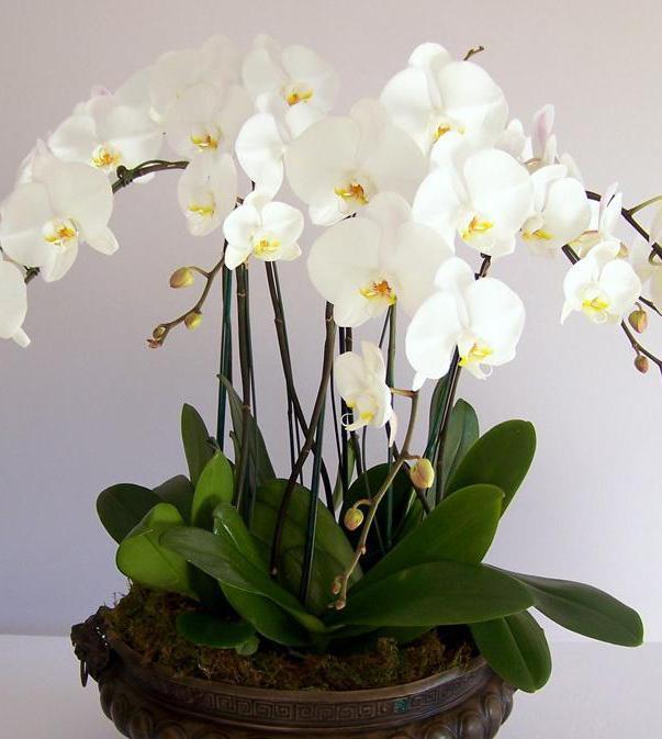 как посадить деток орхидеи в сфагнум