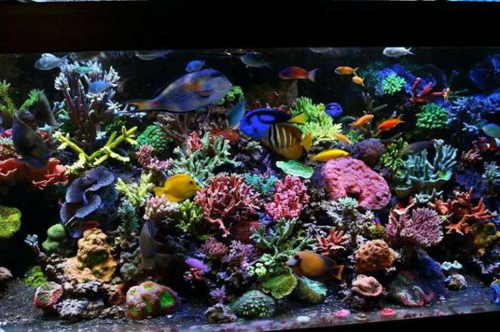 самая красивая аквариумная рыбка