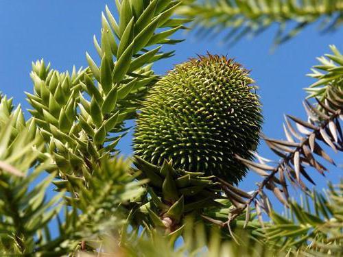 араукария чилийская описание