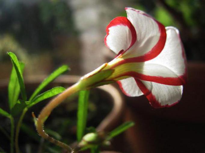 цветок оксалис версиколор