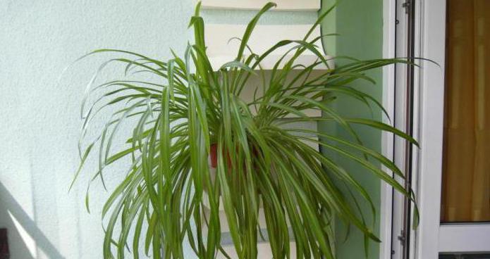 тенелюбивые вьющиеся растения для дома