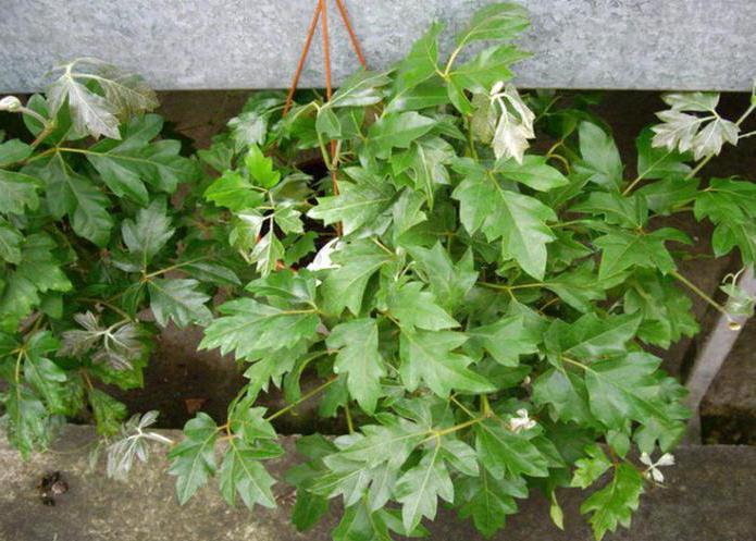 тенелюбивые вьющиеся растения для дома список