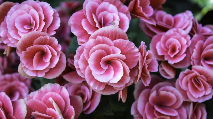тенелюбивые вьющиеся растения для дома с цветами