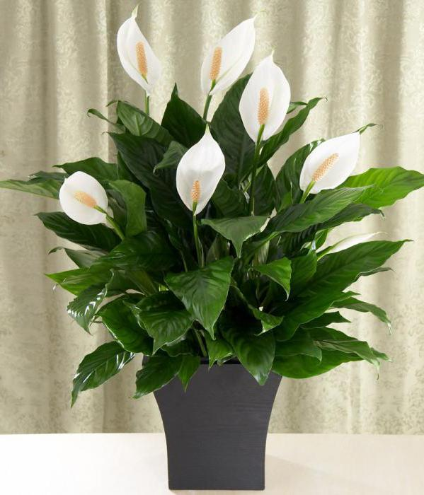 тенелюбивые вьющиеся растения для дома в ванную комнату