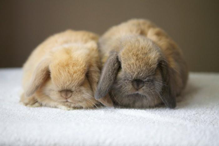 Декоративные кролики: отзывы. Породы, цены, содержание ... Декоративные Кролики Уход