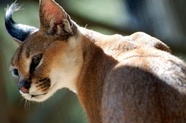 степной кот фото