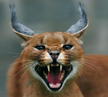 степной кот каракал
