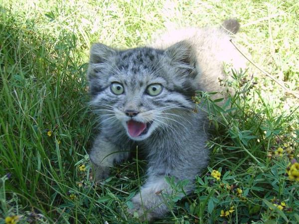 дикий степной кот