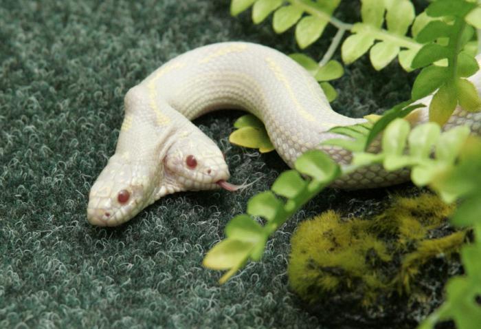 двухголовая змея альбинос