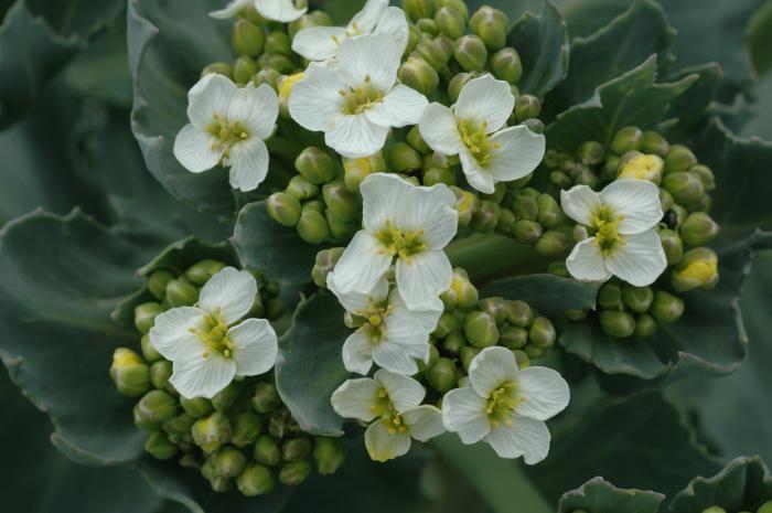 растение катран отзывы