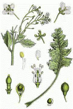 растение катран использование