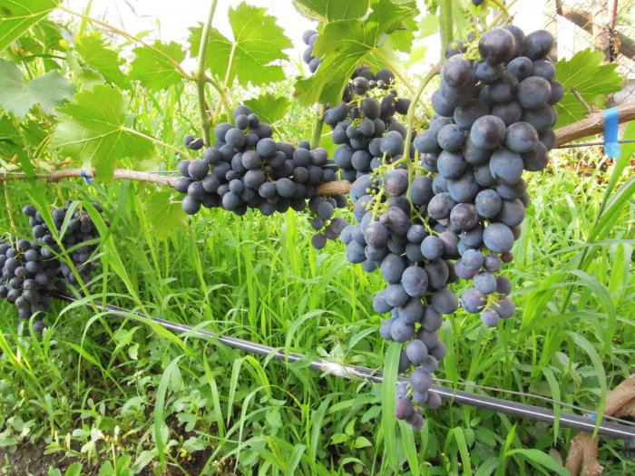 Виноград «Сфинкс». Описание сорта. Выращивание винограда
