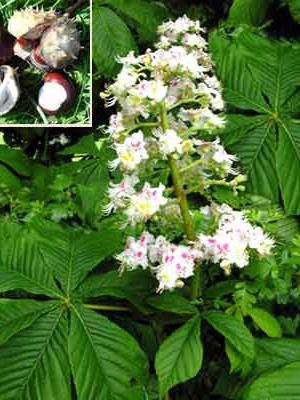 лечебные свойства цветов каштана конского