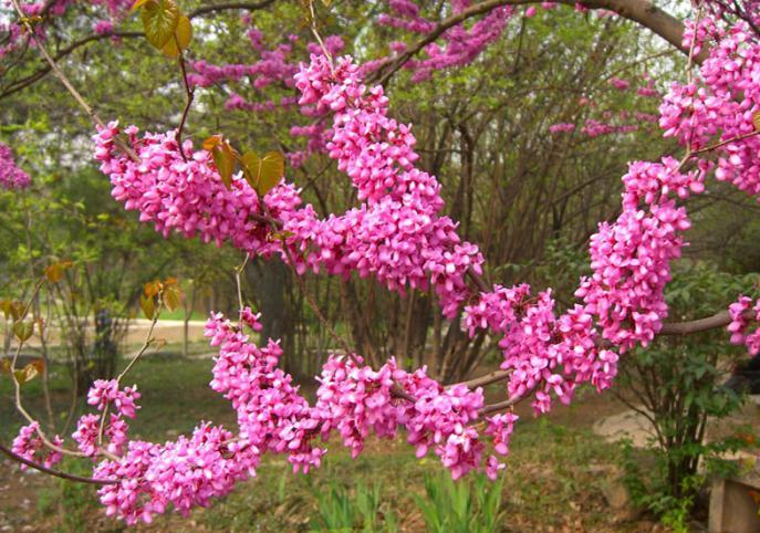 иудово дерево фото