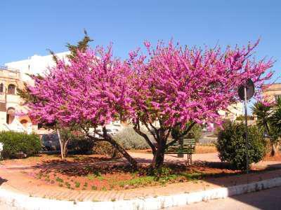 иудово дерево