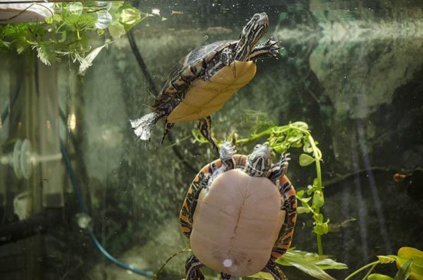 что едят водяные черепахи в домашних условиях