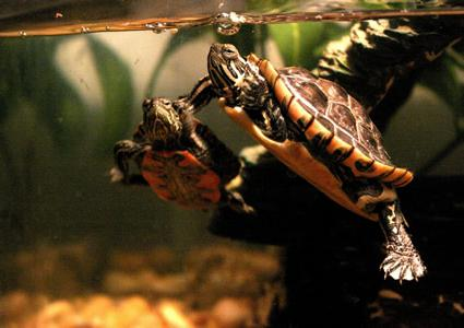 чем кормить водяную черепаху в домашних условиях