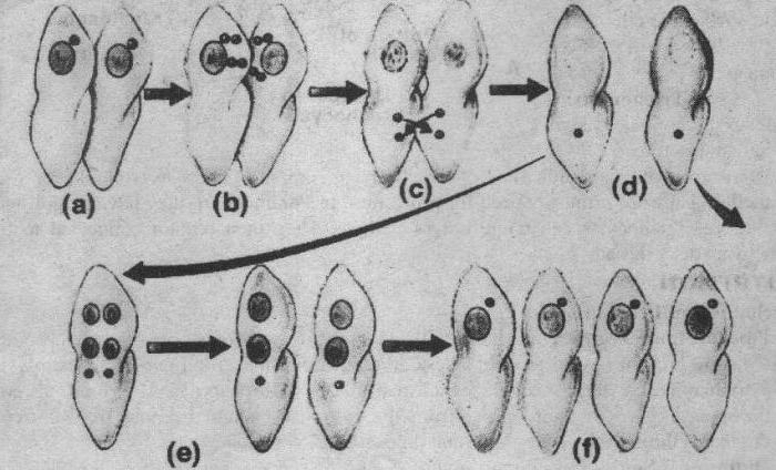 Инфузория-туфелька форма размножения