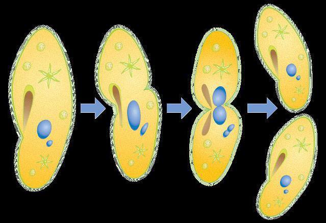 Размножение инфузории-туфельки