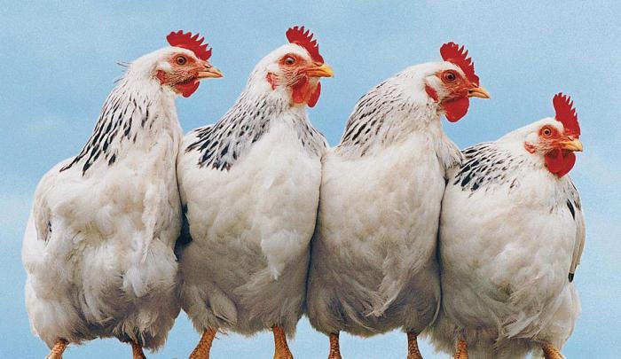 адлерская серебристая порода кур отзывы