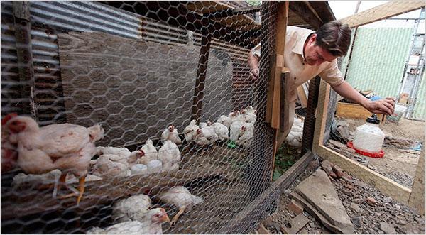 Болезни цыплят бройлеров 51