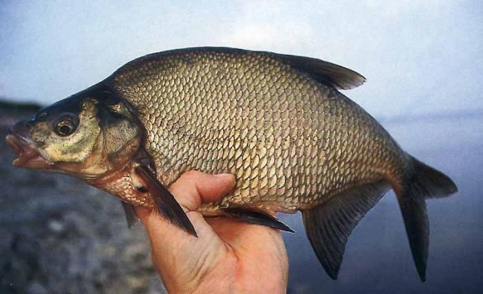 из чего состоит прикормка для рыбы