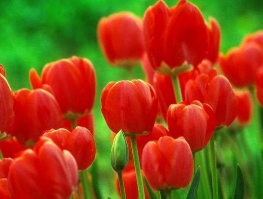 как хранить луковицы тюльпанов летом