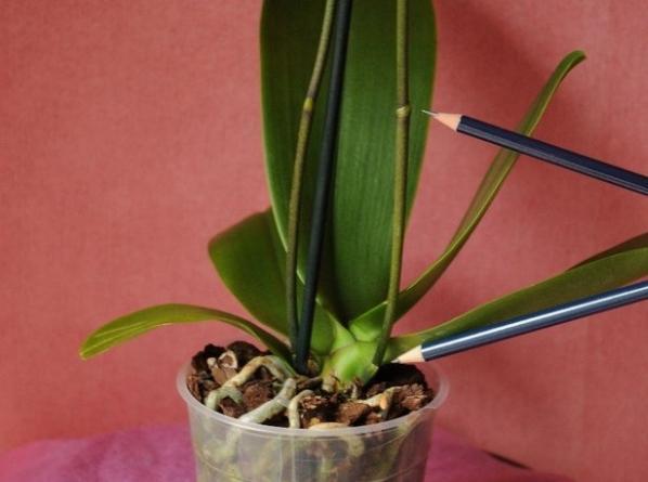 Когда цветёт орхидея в домашних условиях 125