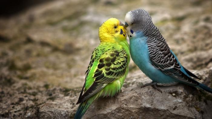 Всё о попугаях неразлучников - 164b