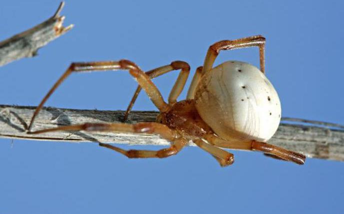 паук с белой спиной