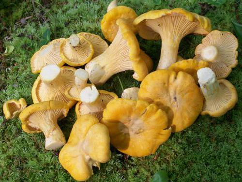 рецепты приготовления грибов из лисичек