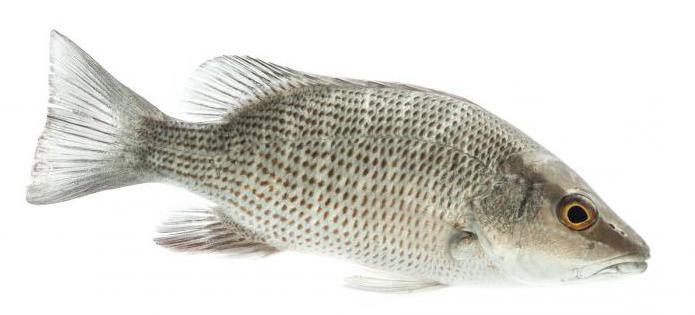 рыба люциан фото