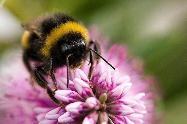 шмелиный мед цена