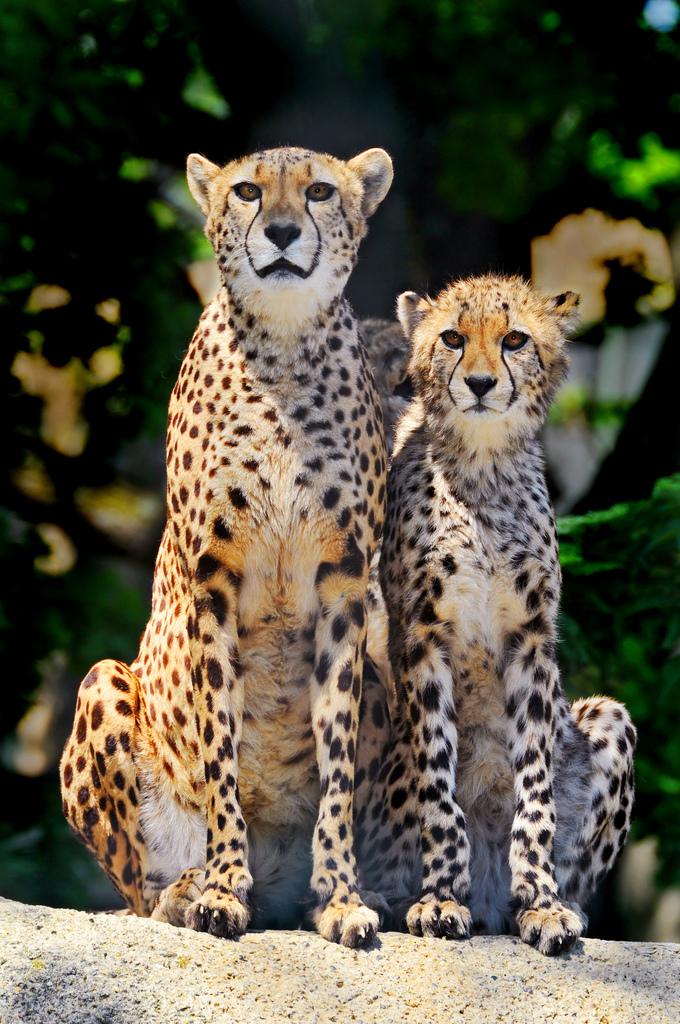в чем отличия гепарда