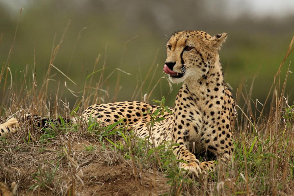 гепард быстрее ягуара