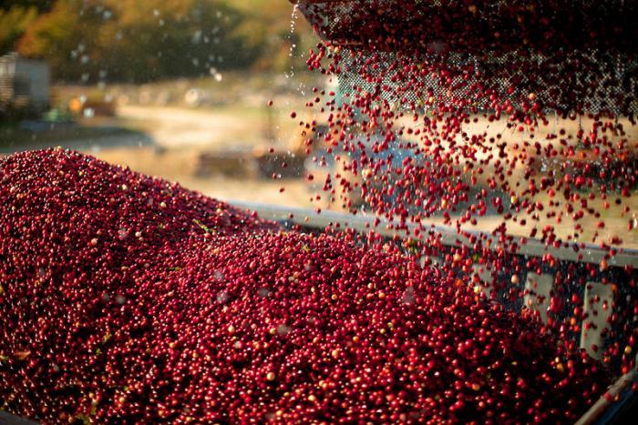 комбайн для сбора ягод клюквы