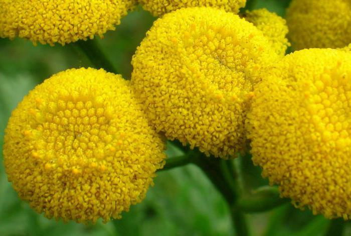 рецепт от глистов тыквенные семечки