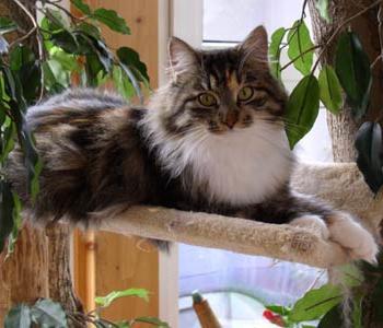 Сибирский кот — наилучший домашний любимец