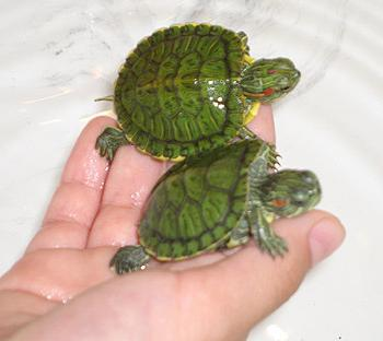 Чем кормить черепах советы новичкам