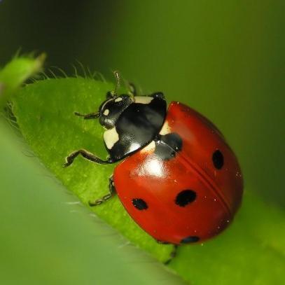 Coccinellidae – что на латыни означает